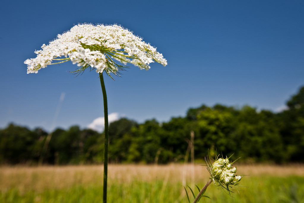 August 1, 2009. A Queen Anne's lace growing outside the Grail, during the Village Zendo's summer 2009 retreat.