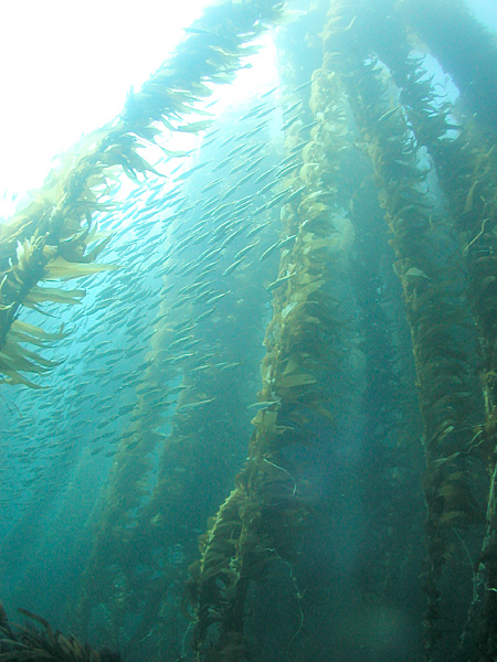 a kelp forest in California